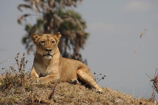 Lioness by AnneMetzger