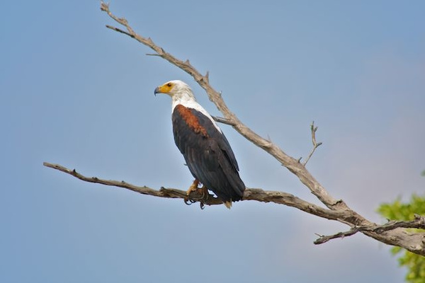 African Fish Eagle by AnneMetzger
