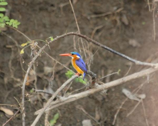 Malachite Kingfisher by AnneMetzger