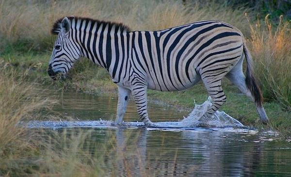 Zebra by AnneMetzger