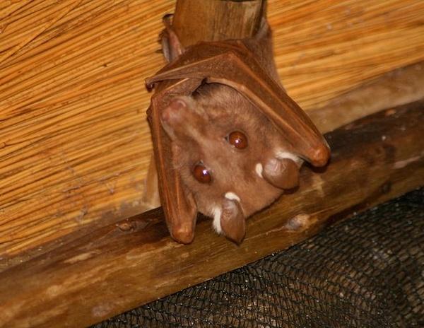 Adorable Fruit Bat by AnneMetzger