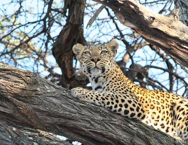 Leopard by AnneMetzger