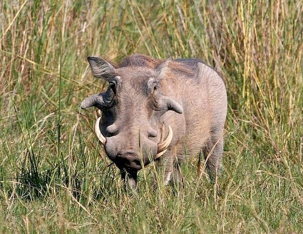 Warthog by AnneMetzger