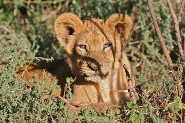 Lion Cub by AnneMetzger