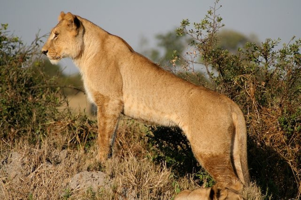 Young Lioness by AnneMetzger