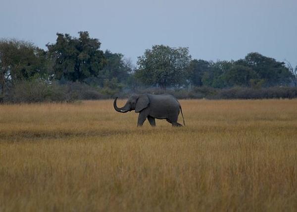Lone Elephant by AnneMetzger