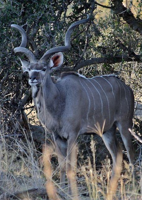 Mature Male Kudu