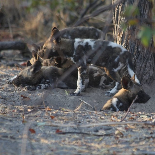 Pile of Wild Dog Pups by AnneMetzger
