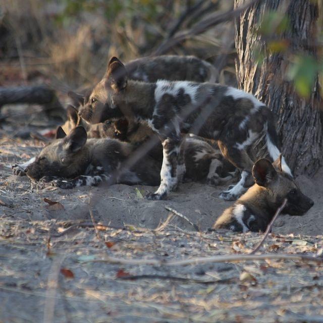 Pile of Wild Dog Pups