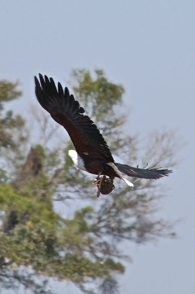 African Fish Eagle with a catch by AnneMetzger