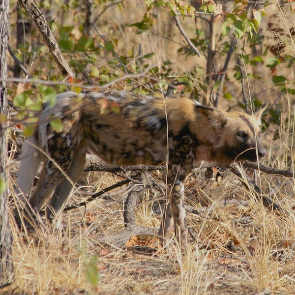 Wild Dog by AnneMetzger