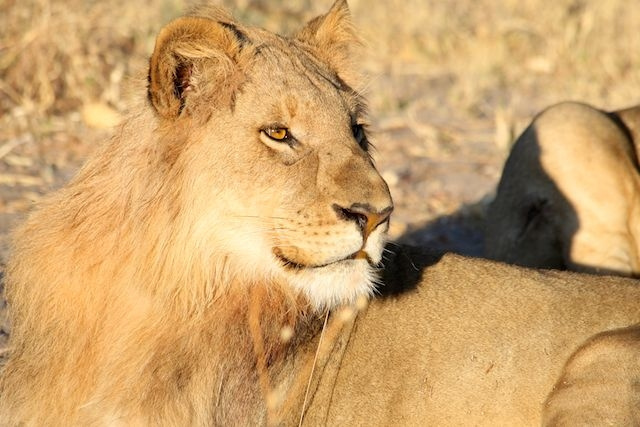 Subadult Male Lion