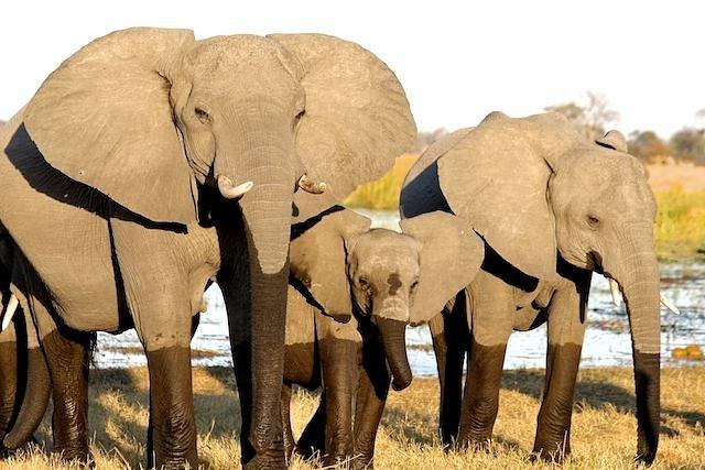 Elephant Breeding Herd