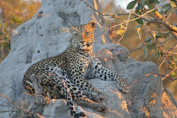 Leopard Resting by AnneMetzger