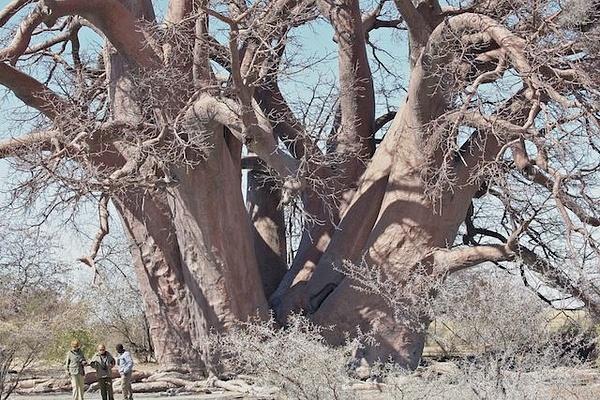 Chapman's Baobab Tree by AnneMetzger