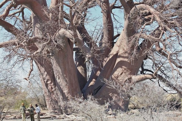 Chapman's Baobab Tree