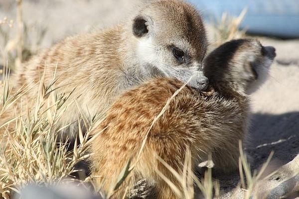Meerkat Babies by AnneMetzger