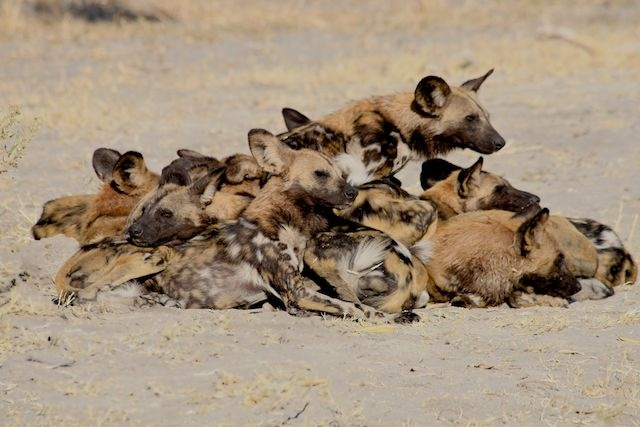 Pile of Adult Wild Dog