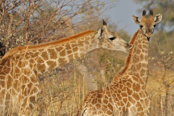 Mother and Young Giraffe by AnneMetzger
