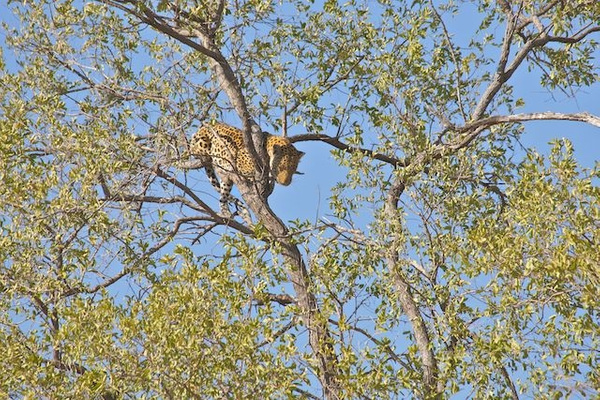 Leopard Chased Up Tree by Lion by AnneMetzger