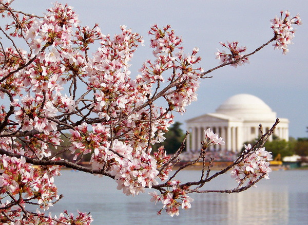 Cherry Blossom Jefferson Mem