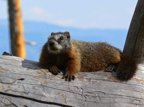 Grand Teton Marmot