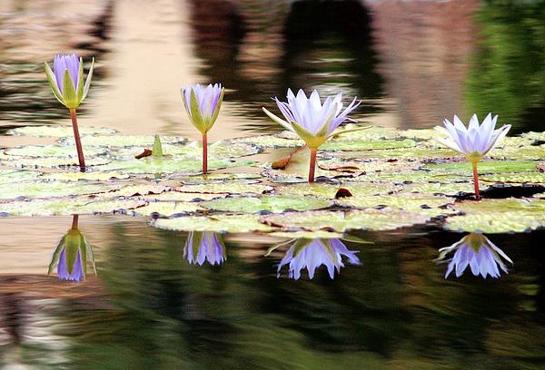 Lily Pads by Rhianne