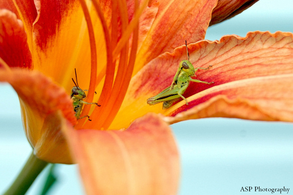 grasshoppers closer up-1 by amysuephoto