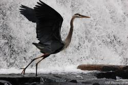 Blue Heron 2015