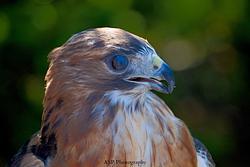 Hawk Migration Event, Pack Monadnock 2015