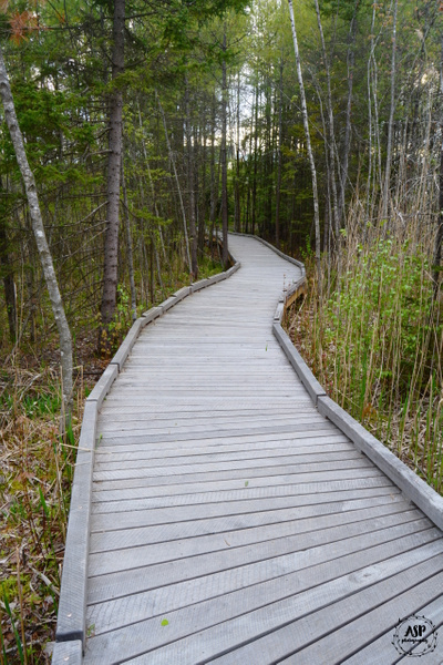 Swamp Boardwalk and Blueberry Blossoms, 2016 by...