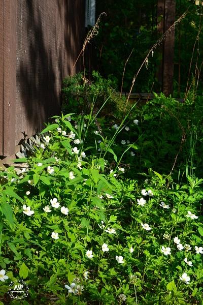 Backyard Blooms 2016 by amysuephoto by amysuephoto
