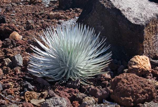 Silver Sword Plant, Endangered Species on Haleakala Volcano, Maui