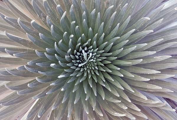 Silver Sword Plant Detail