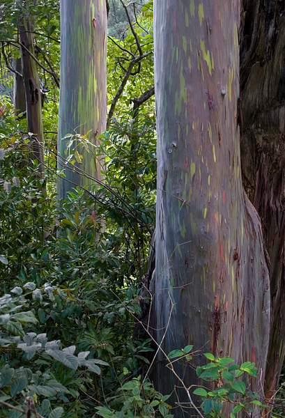 Rainbow Eucaplytus Trees in a Rainforest, Maui, Hawaii