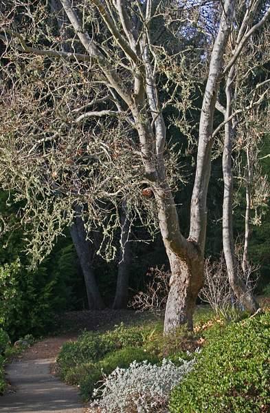 Western Sycamore (Platanus Racemosa) in Winter, Tilden Regional Park, Berkeley, Calif.