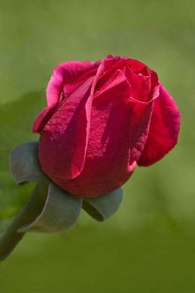 Bloom of the Souvenir de Claudius Denoyel Hybrid Tea Rose