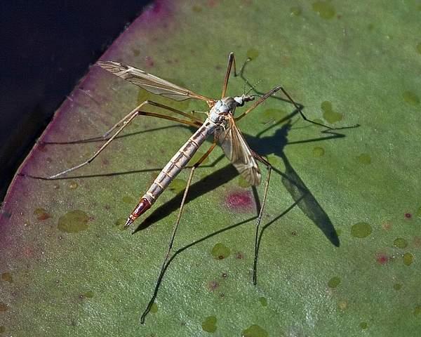 Crane Fly (Tipula simplex) on a Lily Pad