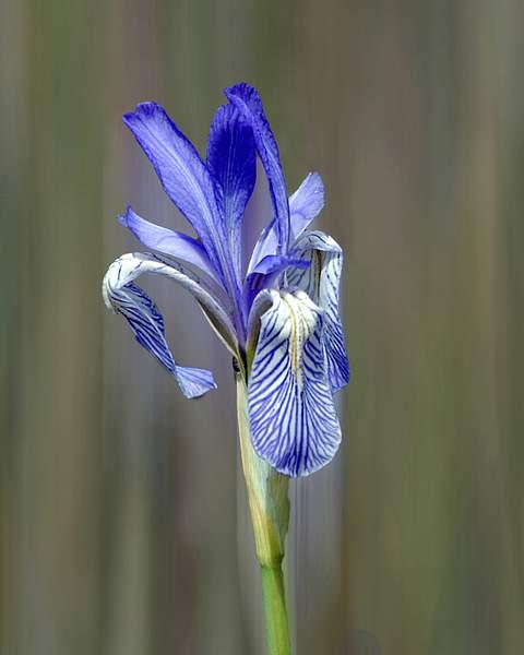 Blue Iris in a Sierra Meadow