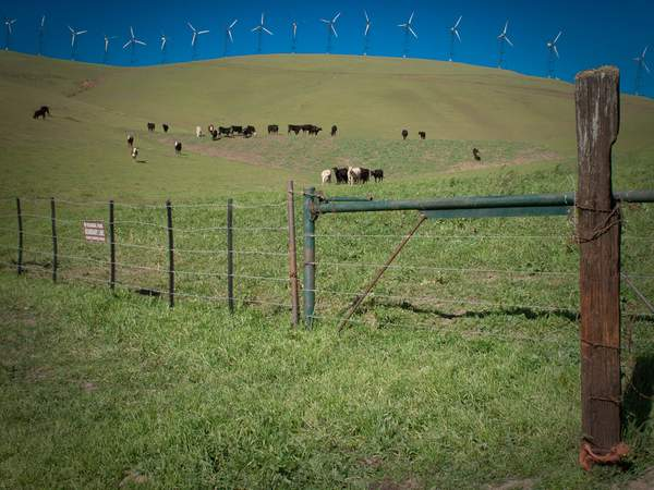 Cows & Windmills