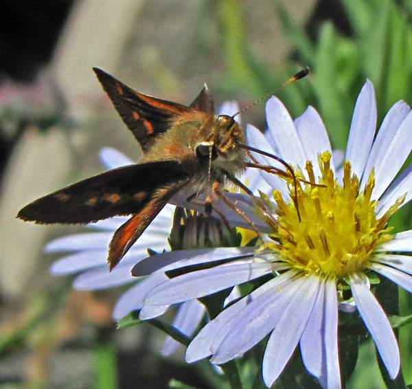 Aster_chilensis_x_(7)