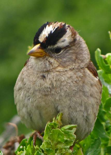White-crowned_Sparrow_(Zonotrichia_leucophrys)_x_(1)