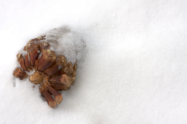 PineCone in Snow by j0ser