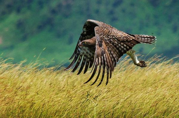 hawk 2 crop - Wildlife - Steve Juba Photography