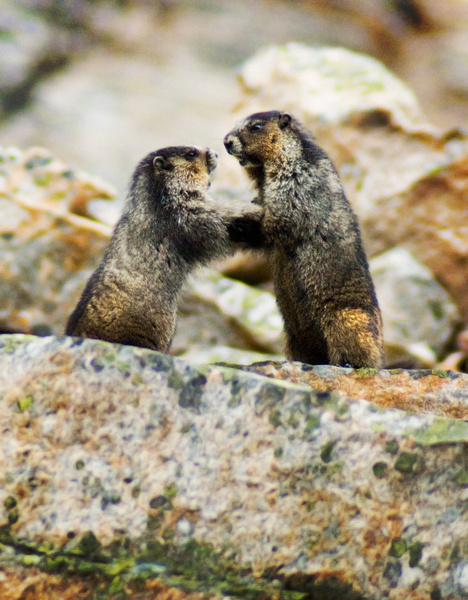 Marmout proposes - Wildlife - Steve Juba Photography