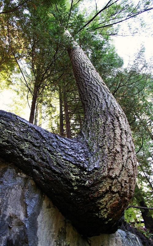 Vancouver 418 Suspension Bridge - Baum mit Richtungswechsel