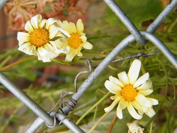 daisy chain link
