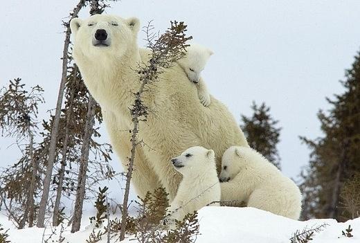 белые_медведи