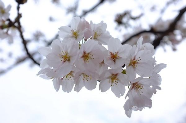 sakura by cironera