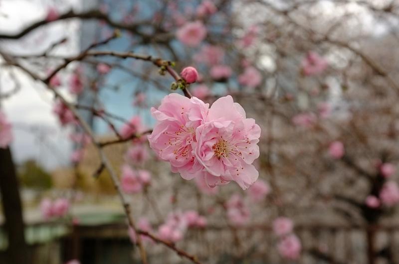 different sakura